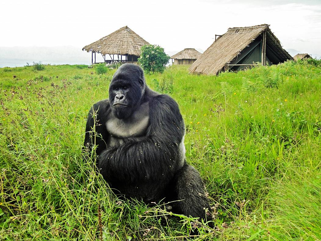 AFP PHOTO / VIRUNGA NATIONAL PARK / © LuAnne Cadd