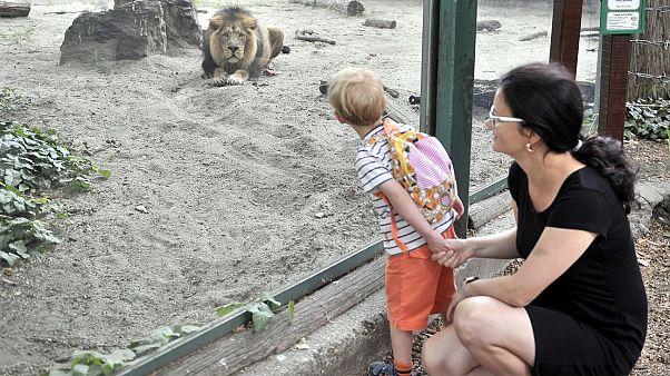 Budapester Zoo wieder offen: Grantiger Löwe und süßes Tapirbaby