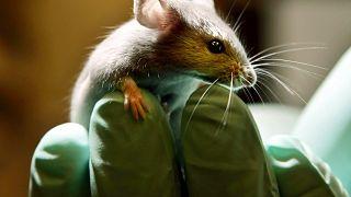 Alman araştırmacılar tıp literatüründe ilk kez denenen protein tedavisiyle felçli fareleri yürütmeyi başardı.