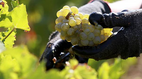 ARCHIVE PICTURE: worker collects white grapes