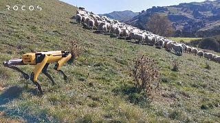 Rocos'un geliştirdiği robot çoban köpeği