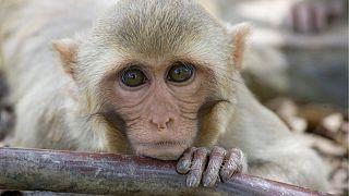 تست واکسن ویروس کرونا روی میمون های ماکاک
