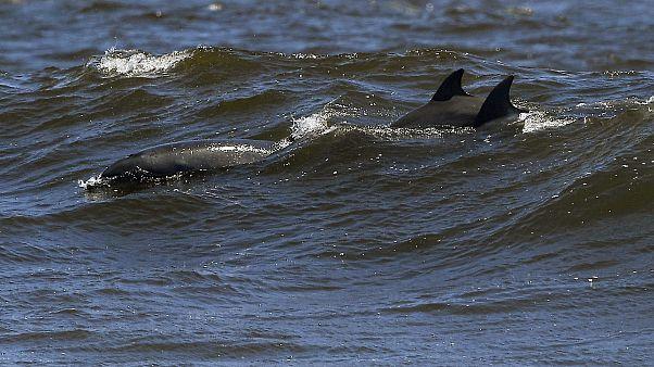 Mil golfinhos avistado em Laguna Seca