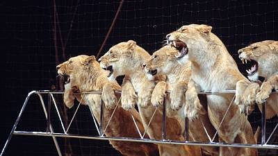 Lions performing in the circus.