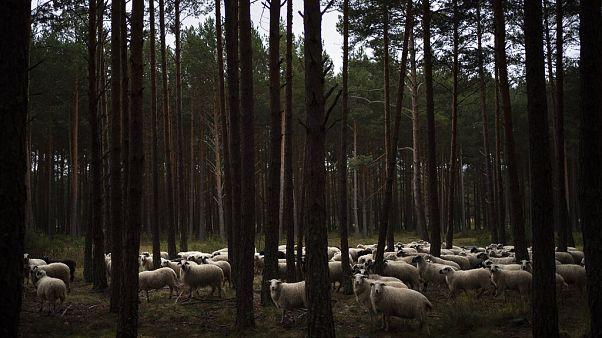 Birkák legelnek egy pineaerdőben a spanyolországi Soria közelében 2020. április 27-én