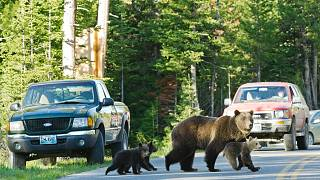 A Grand Teton kedvencei: a 399-es grizzly bandukol át az úton három bocsával (archív)