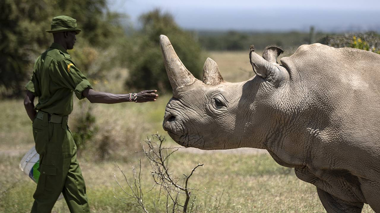 Breitmaulnashorndame Najin im Ol Pejeta Nationalpark in Kenia