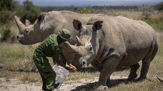 المتبقيتان من فصيلة وحيد القرن الأبيض الشمالي