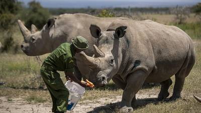 Female northern white rhinos Fatu, 19, right, and Najin, 30, left, the last two northern white rhinos on the planet, are fed some carrots by a ranger in their enclosure.