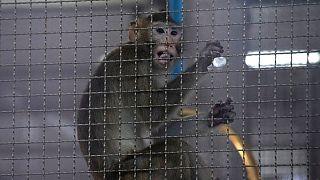 تایلند آزمایش واکسن تازه خود روی میمونها را از روز دوشنبه آغاز کرده است