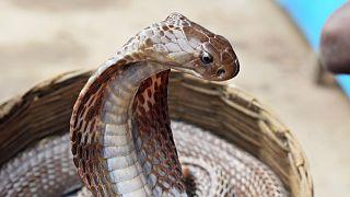 الكوبرا من مجموعة الثعابين السامة