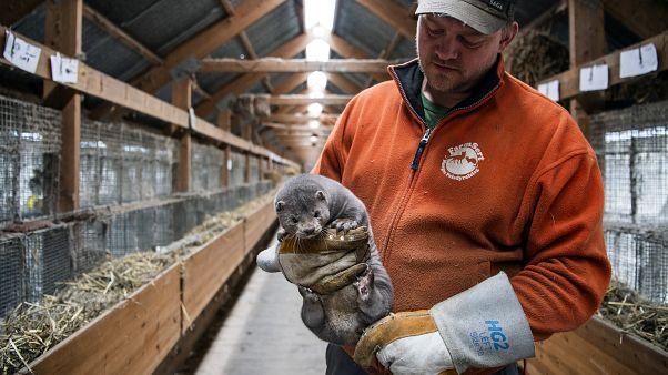 Hollanda'da bir vizon çiftliği