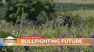 Bulls grazing on a farm in Spanish Dehesa