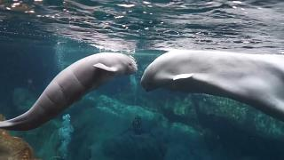 Baby beluga whale swimming alongside mother