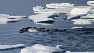 Narválok a jégtáblák között