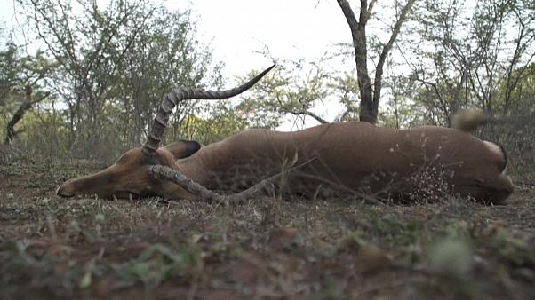 Une antilope abattue pour nourrir la population