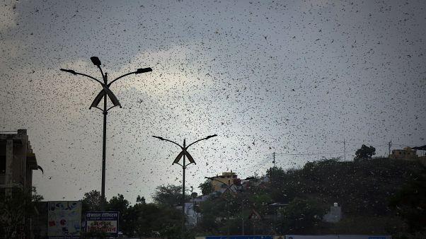 Plaga de langostas en India