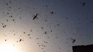 Hindistan'ın Rajasthan Bölgesi Nisan ayından bu yana milyonlarca çekirgenin istilası altında