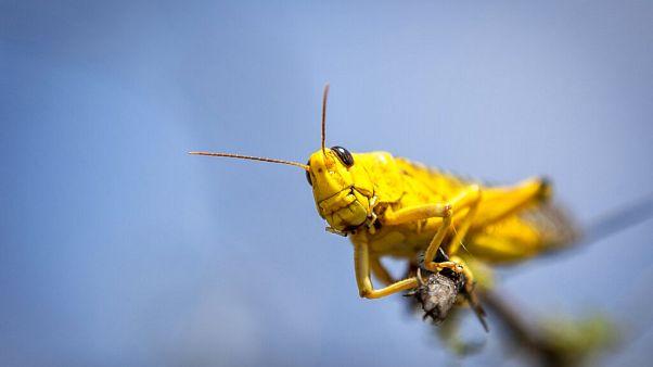 Heuschrecken fressen Indien leer