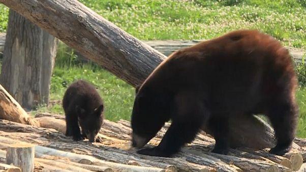 Black bear cubs make their debut in eastern France zoo