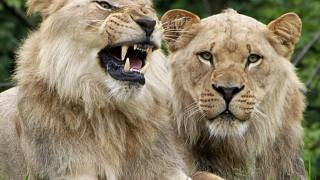 أسدان في حديقة حيوان