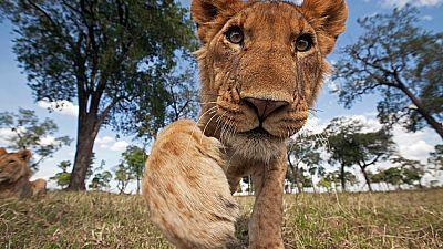Lion adolescent reaching out with curiosity at Maasai Mara National Reserve, Kenya.