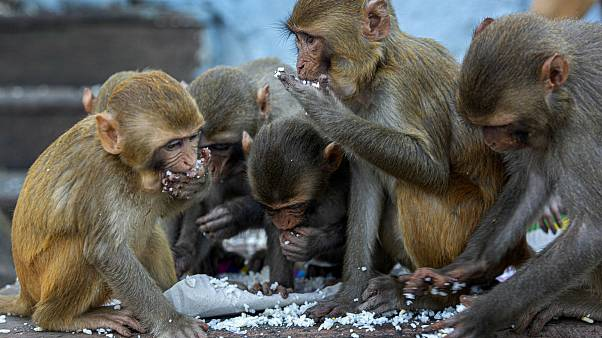 Monkeys eat puffed rice distributed by social workers near a Hindu temple during nationwide lockdown in Gauhati, India