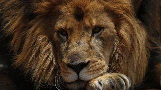 safari parkta görüntülenmiş bir aslan