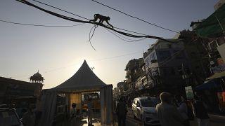 Hindistan maymun