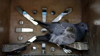 Yaralandıktan sonra tedavi gören güvercin, arşiv