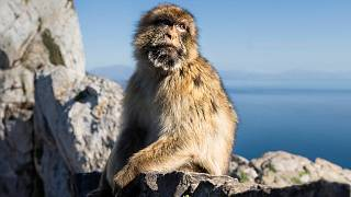 A Barbary macaque in Gibraltar, March 1, 2017