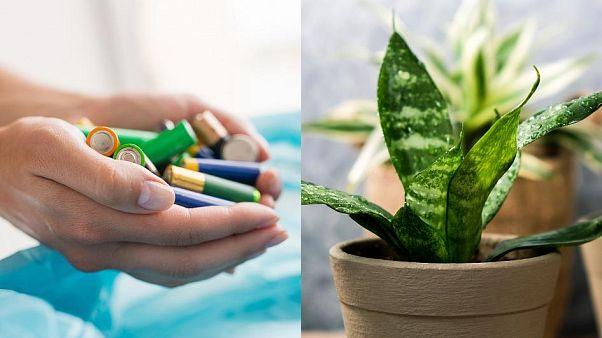 Batterien enthalten Stoffe, die Pflanzen zum Wachsen und Gedeihen brauchen