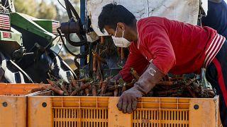 Un lavoratore stagionale in una fattoria vicino a Roma, 4 aprile 2020
