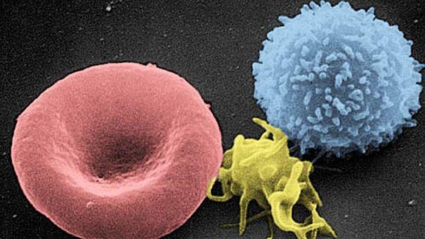 لنفوسیت تی (راست) یک پلاکت (وسط) و یک گویچه سرخ (چپ)