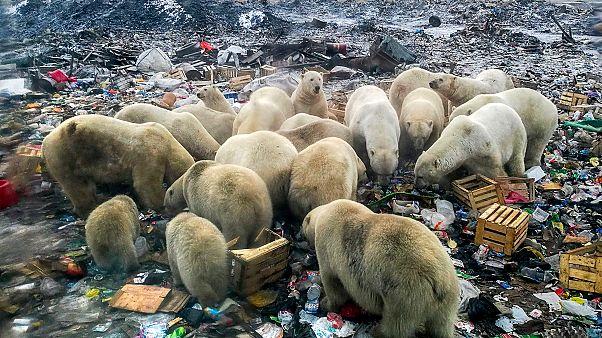 Rusya'da kutup ayıları açlık nedeniyle kente inmişti