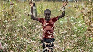 Un jóven granjero rodeado de langostas en Katitika, municipio de Kitui , Kenya