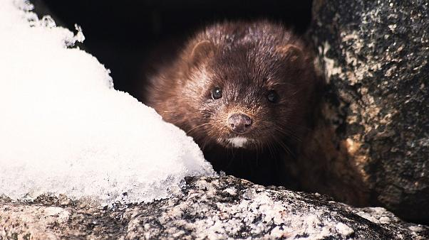 A mink in the wild.