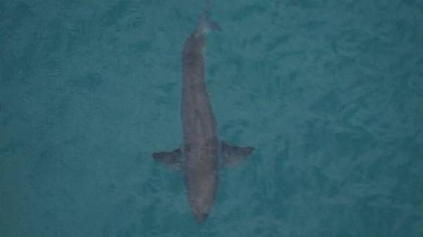 Tubarão branco mata surfista na Austrália