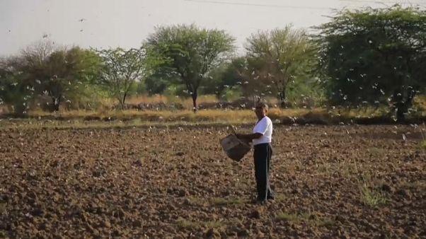 مقابله کشاورزان با هجوم ملخها به مزارع هند