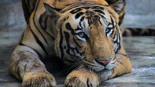 Hindistan'da bir hayvanat bahçesindeki bir kaplan