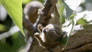 تصویری از کوچکترین گونه میمونها در جهان