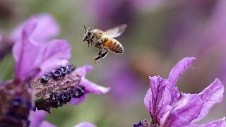 Los insectos polinizadores como las abejas están amenazados