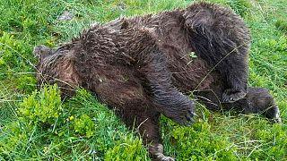 Der am Dienstag, 9. Juni aufgefundene tote Bär.
