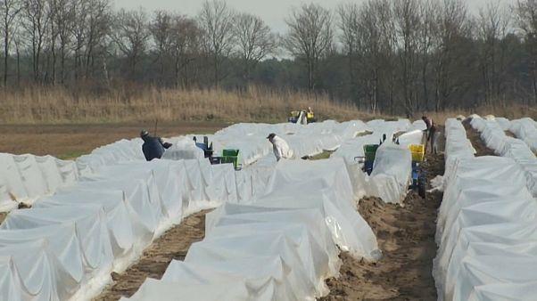 Alemania necesita jornaleros para recoger la cosecha.