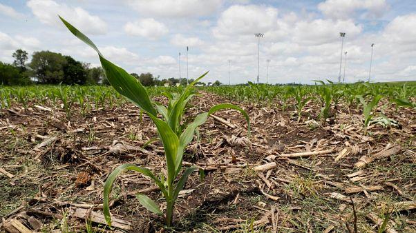 Una pianta di mais cresce in un campo, a Dyersville, USA