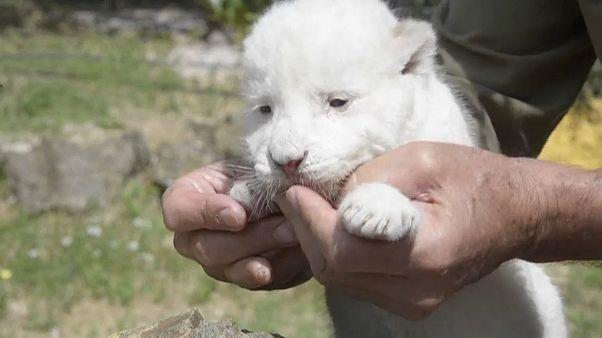 White King en manos de un cuidador