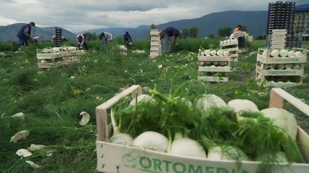 Bauern zahlen für Einreise marokkanischer Erntehelfer