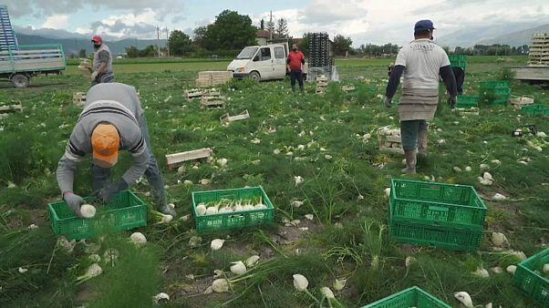 Fennel Harvest in Avezzano, Italy