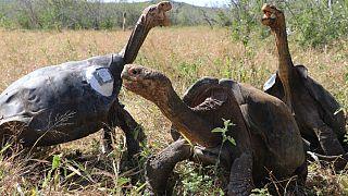 Üreme programı sona eren dev kaplumbağalar 40 yıl aradan sonra Galapagos Adaları'ndaki ana vatanlarına döndü
