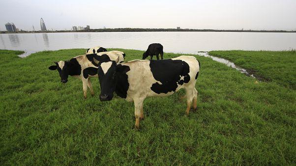 البدء في إجراء تجارب بشرية لعلاج لكورونا مشتق من بلازما الأبقار